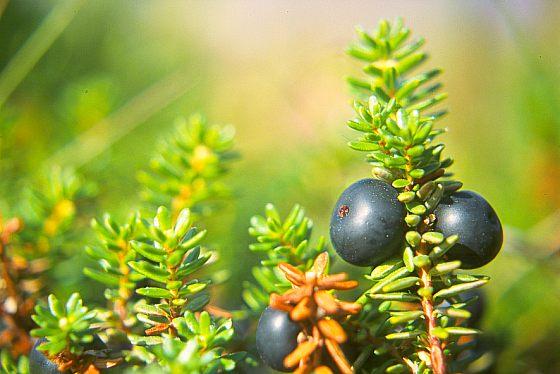 norwegen pflanzen flora strauchgeh lze schwarze kr henbeere. Black Bedroom Furniture Sets. Home Design Ideas
