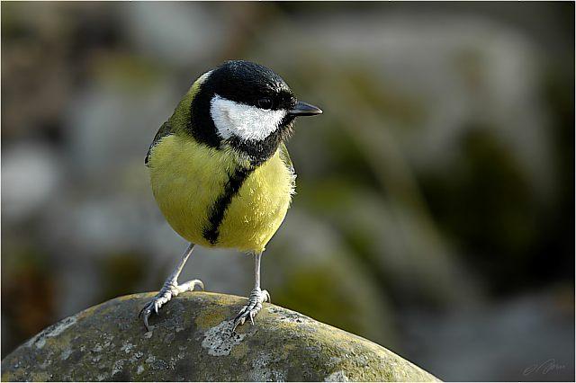 kohlmeise parus major info a z die vogelarten auf runde in der her y kommune norwegen. Black Bedroom Furniture Sets. Home Design Ideas